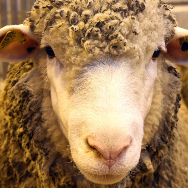 Concours Animaux Moutons