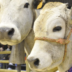Concours Animaux Vaches